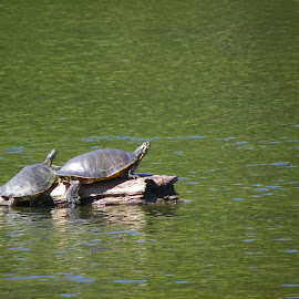 sunning turtles by Melanie Goins - Animals Amphibians ( two, summer, lake, turtles, log )