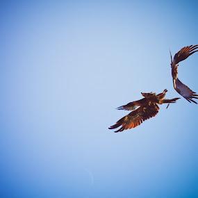 by Nayan Shaurya - Animals Birds ( bird of prey, sky, eagles, birds, bird photography )