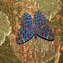 Amazon Blue Cracker -  Hamadryas chlöe