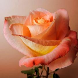 Just Peachy by Melissa Davis - Flowers Single Flower ( rose, single flower, peach rose, missysphotography, peach )
