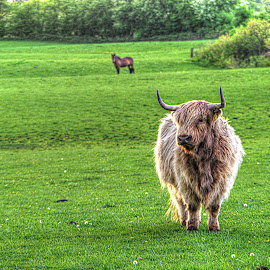 A Blonde Highlander~ by Karen McKenzie McAdoo - Animals Other Mammals