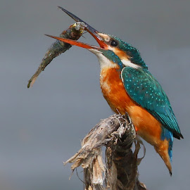 Common Kingfisher tossing the fish  by Partha Sarkar - Animals Birds ( bird of prey, common kingfisher, common kingfisher tossing, birds, common kingfisher tossing the fish )