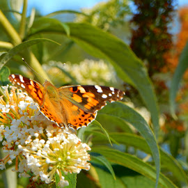 Butterfly 1 by Kristine Nicholas - Novices Only Flowers & Plants ( orange, flying, macro, nature, butterflies, blue, green, bug, nature close up, flowers, insects, insect, flower,  )
