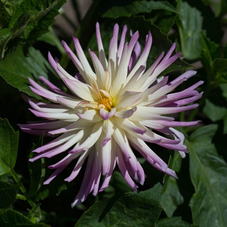 Peaking Thru The Leaves by Janet Marsh - Flowers Single Flower ( dahlia, purple flowers )