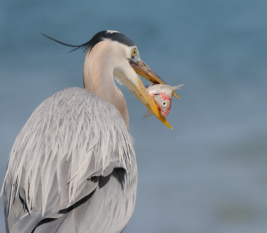 Yin and Yang by Harry Eggens - Animals Birds ( water, wing, bill, fish, nikkor, catch, image, ocean, photo, spring, heron, usa, fort de soto, picture, bird, great, blue, wings, florida, beak, capture, harry eggens, nikon, feisol )