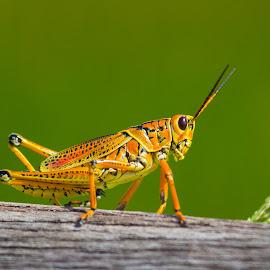 Florida's Giant Orange Grasshopper by Jose Reyes - Animals Insects & Spiders ( orange, giant orange grassopper, green, everglades, locus, insect, close up, grasshopper )