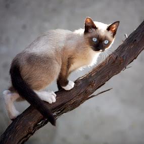 Get focus by Aurel Virlan - Animals - Cats Portraits ( cat, blue eyes, bird hunter )