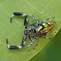 Scorpion Spider (female)