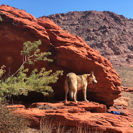Red Rock Canyon  by Diane Garcia - Animals - Dogs Portraits ( hike, dog )