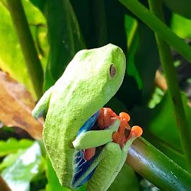 Red eyed tree frog by Zuzana Kapolkova - Animals Reptiles ( costa rica )