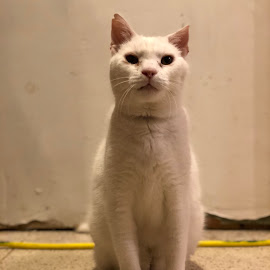 The Old White Cat by Kristine Nicholas - Novices Only Pets ( cat, kitten, old, male, white, tom cat, stray, stray cat, feral, cats, feline, boy, white cat )