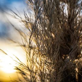 Softness by Brian Box - Nature Up Close Leaves & Grasses ( grasses, winter, sunset, evening, tall grass, arkansas )