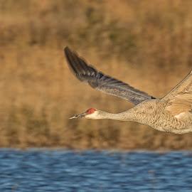 Sandhill crane by Brent Morris - Animals Birds