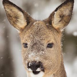 Deer Portrait of snowfall by Allan Wallberg - Animals Other Mammals ( sweden, winter, nature, snowy, roedeer, animal, deer )