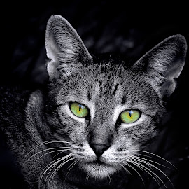 by Diomede Buda - Animals - Cats Portraits (  )