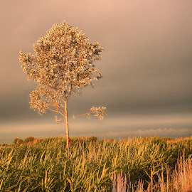 Arany órában by Kati Királyné Itaka - Landscapes Sunsets & Sunrises ( naplemente arany óra fa mező )