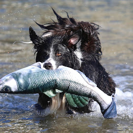 TheDogfish by Gareth Evans - Animals - Dogs Playing ( water, collie, fish, action, dog )