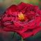 DSC_7389-Rose.jpg