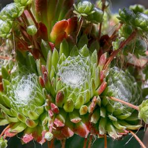 Spider cactus.jpg