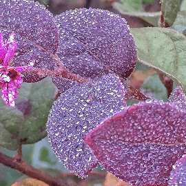 Early Morning Dew by Dee Haun - Instagram & Mobile iPhone ( pink blossom, purple plant, dew, dew drops, iphone, instagram & mobile, 171205t1836ce1, early morning )
