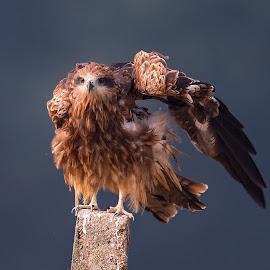 Wanna fight ?  by Abdus Alim - Animals Birds ( nikon af-s nikkor 800mm f/5.6e, nikon d4, wimberley gimbal head, gitzo, birds,  )