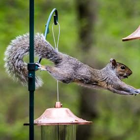 Stretching Thief by Sandy Hogan - Animals Other Mammals ( bird_feeder, squirrels, wildlife, thieving_squirrel, squirrel, squirrel_thief,  )