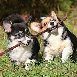 Teamwork by Mia Ikonen - Animals - Dogs Puppies ( playing, canine, teamwork, happy, pet, action, pembroke welsh corgi, summer, finland, fun, motion, dog, mia ikonen )