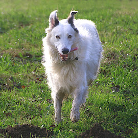 Just for Fun! by Chrissie Barrow - Animals - Dogs Running ( field, ear, grass, pet, white, fur, legs, dog, lurcher, running, black )