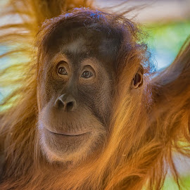 Who you looking at by Jim Merchant - Animals Other Mammals ( wild, ape, wildlife, endangered, almost human,  )