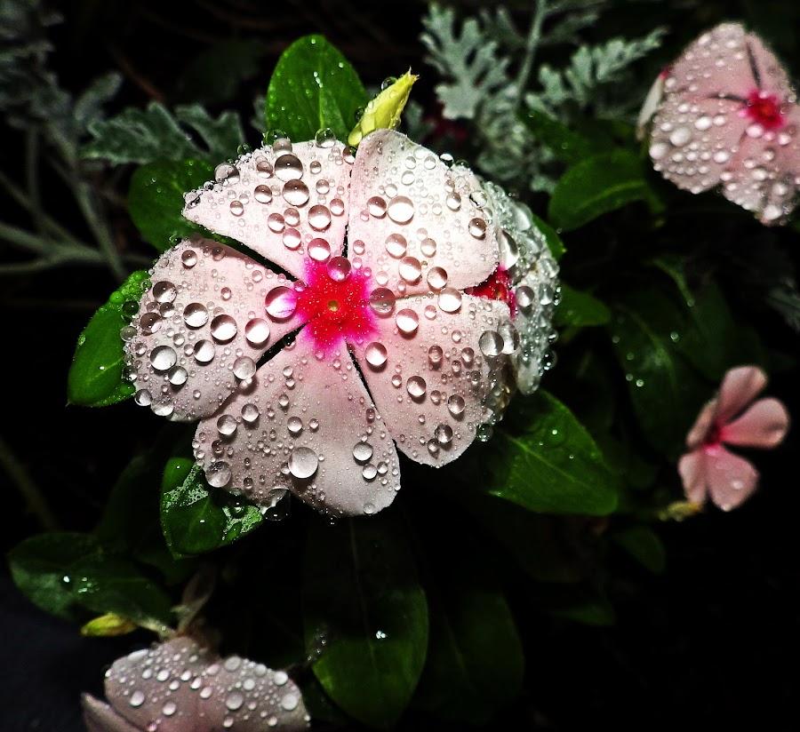 by Martin Stepalavich - Flowers Flower Gardens (  )