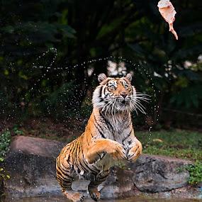 JUMP by Woe Hendrik husin - Animals Lions, Tigers & Big Cats ( big cat, tiger, fantastic wildlife, attraction, jump )