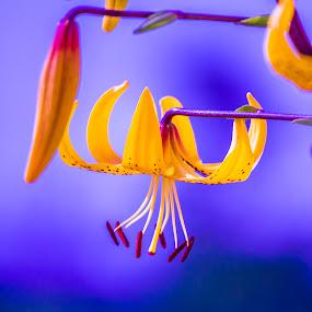 by Rajeev Krishnan - Flowers Single Flower (  )