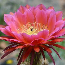 Flying Saucer by Dawn Hoehn Hagler - Flowers Single Flower ( pink flower, desert museum, flying saucer, arizona, tucson, pink, cactus flower, flower, cactus )
