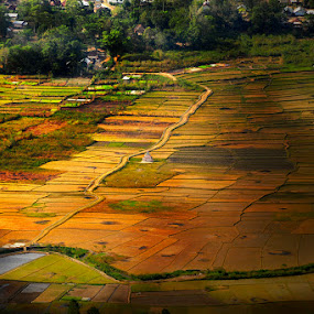 by Siew Jun Han - Landscapes Prairies, Meadows & Fields ( field, village, shadow, paddy, indonesia, golden )