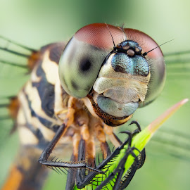 Face Of Dragonfly by Tan Tc - Animals Insects & Spiders ( macro photography, insects, dragonfly, close up, eyes )