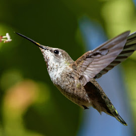 Nectar Snack by Raphael RaCcoon - Animals Birds ( bird, wings, hummingbird, humming bird, hummer )