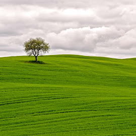 Lonely Tree by Aleš Maučec - Landscapes Prairies, Meadows & Fields ( clouds, sky, tree, toscana, grass, green, meadow, italy, lonely,  )