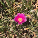 Elands Sourfig or Ice Plant