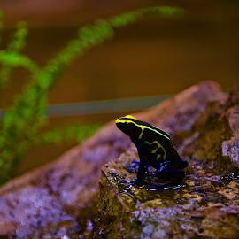 rainforest frog by Monika Sedláčková - Animals Amphibians ( frog terární, blue and yellow frog, blue frog, little frog, rainforest frog )