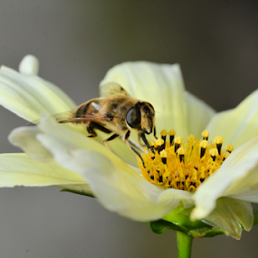 In the Cosmos by Paul Rayney - Flowers Single Flower ( hoverfly, macro, cosmos, close up, yellow flower )