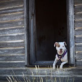 Window Friend by Shawn Thomas - Animals - Dogs Portraits