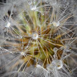 Dropselion by Marco Bertamé - Nature Up Close Natural Waterdrops ( macro, dandelion, dropslet, waterdrop, clos-up,  )