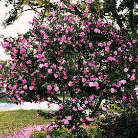 Camelia Bush by Rhonda Kay - Flowers Tree Blossoms (  )