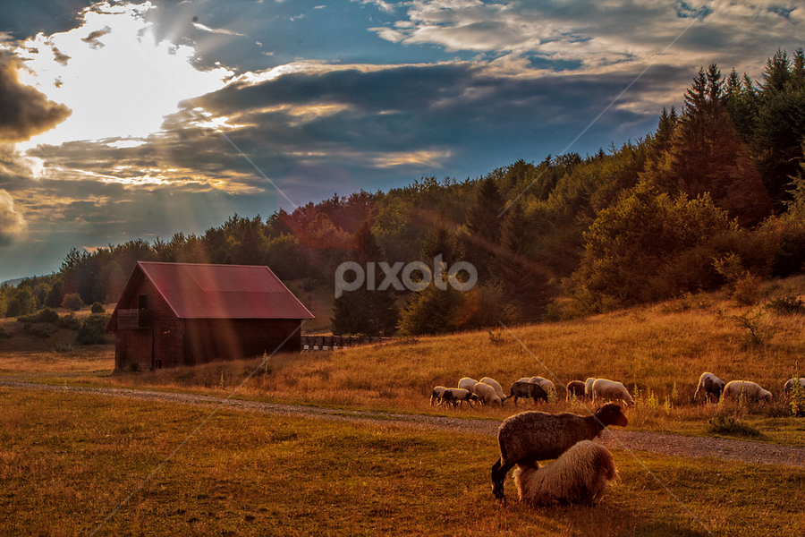 Sheep feeding a youngster by Stanislav Horacek - Landscapes Prairies, Meadows & Fields