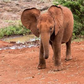 Oi Big Ears  by Paul Putman - Animals Other Mammals ( paul putman, elephant, safari, wildlife, kenya, nairobi )