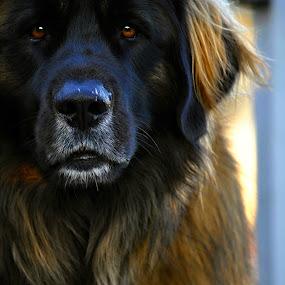 Leonberger The Lion by MarySue Price - Animals - Dogs Portraits ( black dog, newfoundland, dog, big dog, leonberger )