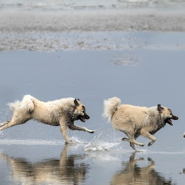 running through water by Judi Singer-Neumeyer - Animals - Dogs Running ( whidbey island, eurasier, beach, eurasiers, dog, birds )
