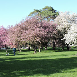Spring in Iowa by Linda McCormick - City,  Street & Park  City Parks ( park, flowering trees, city park, spring, crabapples )
