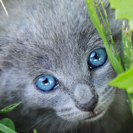 Blue Eyes by Elayne Hand - Animals - Cats Kittens ( kitten, cat, feline, portrait, animal,  )