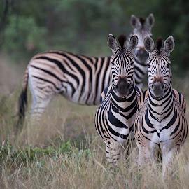 Zebra eyepatches by Dawie Nolte - Animals Other Mammals ( three, zebra, stripes, eyes, zebras,  )
